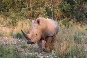 White rhino at Ant's Nest