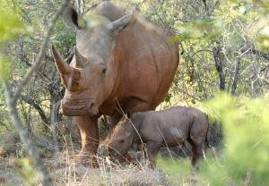 New baby rhino born at Ant's Nest, South Africa