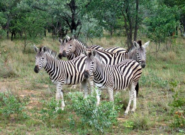 Zebra by Sophie Neville