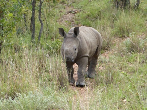 Baby Rhino by Anne Lester
