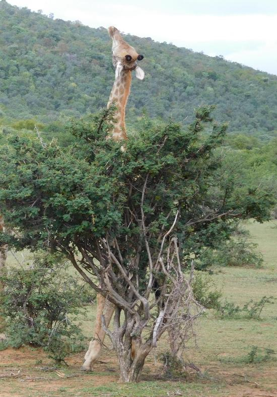 Giraffe at Ant's Nest