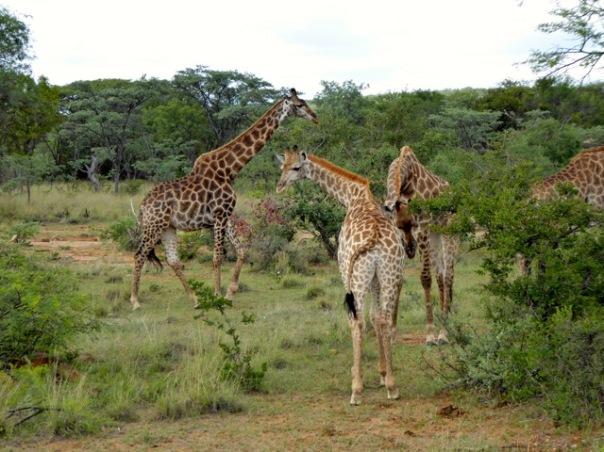 Giraffe by Anne Lester
