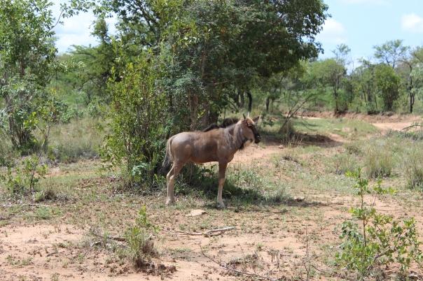 Wildebeeste calf