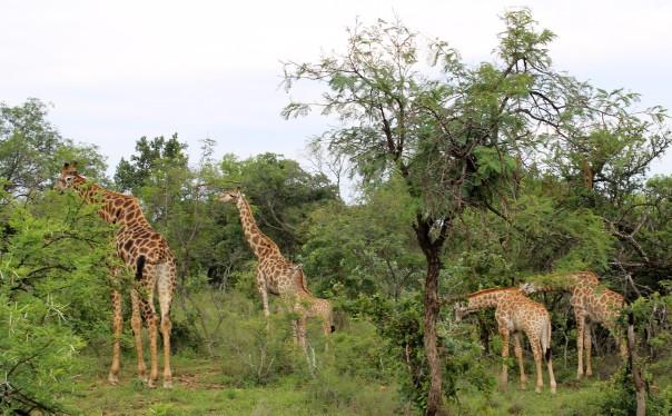 twt-ride-day-2-giraffe-family