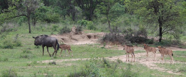 twt-ride-day-2-wildebeest-with-young