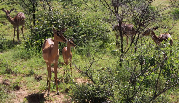 twt-ride-day-3-impala-with-young