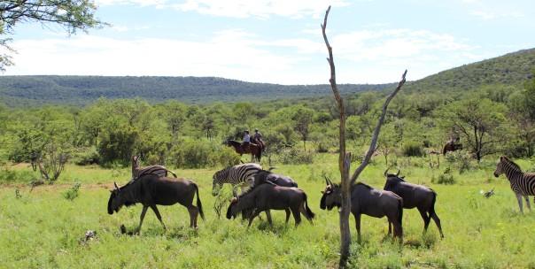 twt-ride-day-3-wildebeest-watching-riders