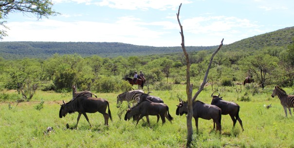 twt-ride-day-3-wildebeest-watching-riders
