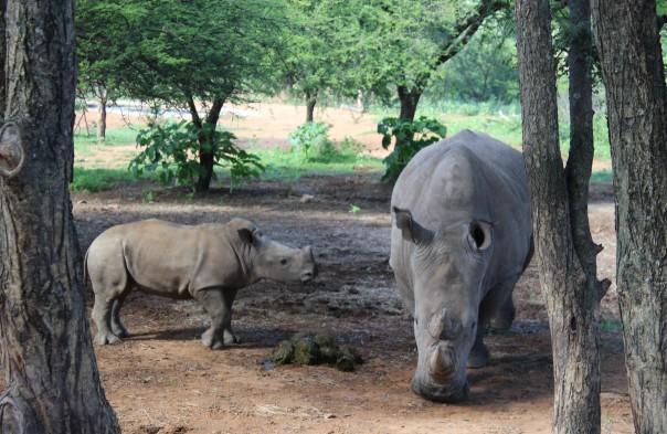 white-rhino-cow-and-calf