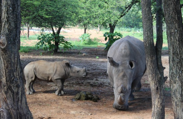 white-rhino-cow-and-calf
