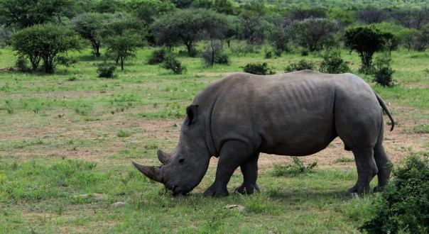wildlife-on-twt-ride-day-2-young-white-rhino-bull